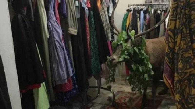 Photo of ირემმა, რომელიც ტანსაცმლის მაღაზიაში შეეხეტა, დიდი აურზაური გამოიწვია (ვიდეო)