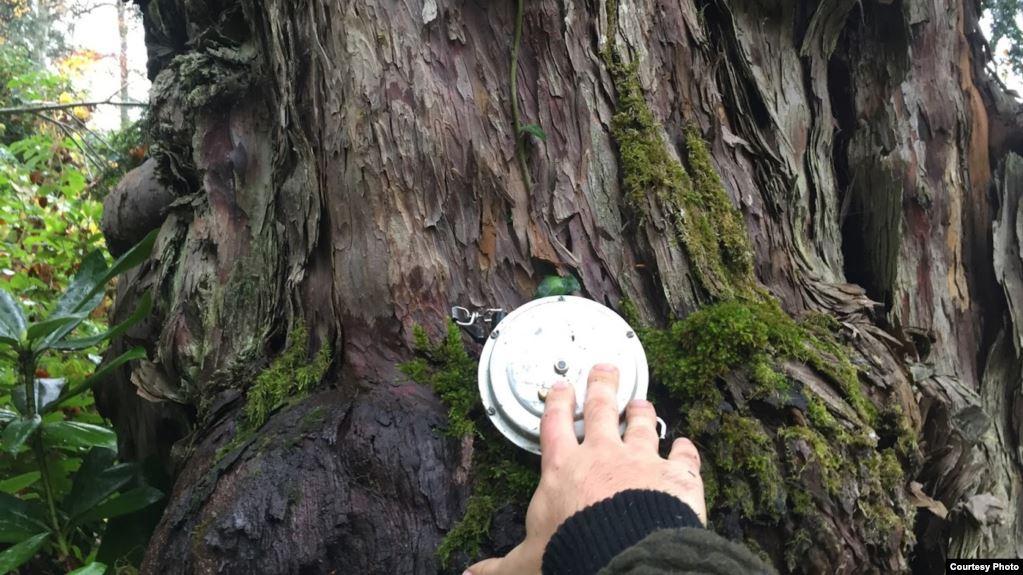 Photo of 1335 წლის ხე – სვანურ უთხოვართა ასაკი შეისწავლეს
