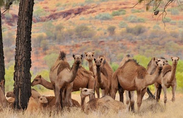 Photo of ავსტრალიაში აქლემების დახოცვის 5-დღიანი ოპერაცია დაიწყო