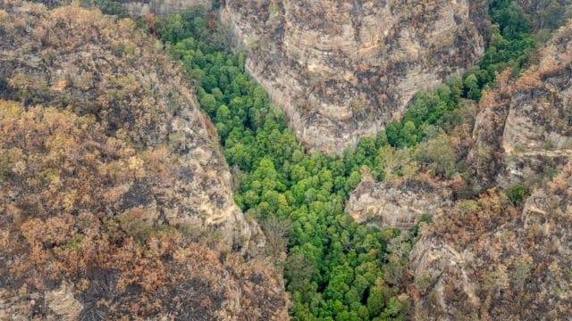"Photo of საიდუმლო მისიამ ავსტრალიის უკანასკნელი ""დინოზავრის ხეები"" ხანძრისგან გადაარჩინა"