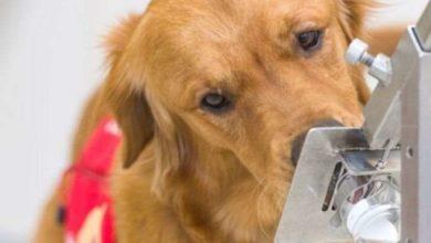 Photo of ძაღლები COVID-19-ის წინააღმდეგ: ძაღლის ყნოსვა ექიმებს დიაგნოზის დასმაში დაეხმარება (ვიდეო)
