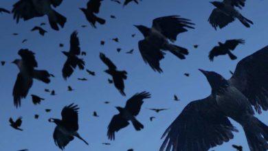 Photo of ყვავები თბილისში გამვლელებს თავს დაესხნენ: რატომ იქცევიან ყვავები აგრესიულად? – პასუხი გაგაოცებთ (ვიდეო)