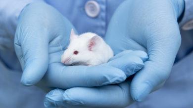 Photo of მეცნიერებმა თაგვის ემბრიონში ადამიანის უჯრედები გაამრავლეს
