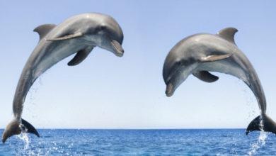 Photo of მამრი დელფინები ერთმანეთს პარტნიორის მოხიბვლაში ეხმარებიან