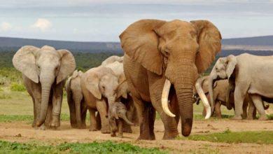 Photo of ნამიბიის ხელისუფლება მოსახლეობას მოუწოდებს, კორონავირუსის სამკურნალოდ სპილოს ფუნა არ გამოიყენოს 🐘