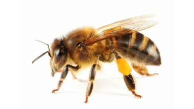 Photo of ფუტკრის შხამი ძუძუს კიბოს უჯრედებს კლავს – ახალი კვლევა