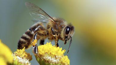 Photo of მეცნიერებმა ფუტკრები COVID-19-ის სუნით ამოცნობაში გაწვრთნეს – ისინი PCR დანადგარებს ჩაანაცვლებენ?