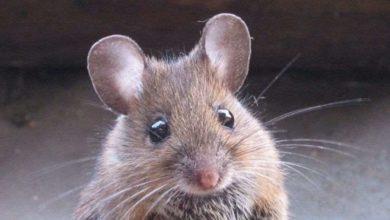 Photo of თაგვებს, რომლებსაც სხვა თაგვების ტანჯვას აყურებინებდნენ, დეპრესია დაემართათ🐭